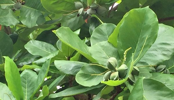 Cashew Tree Real Life Recess