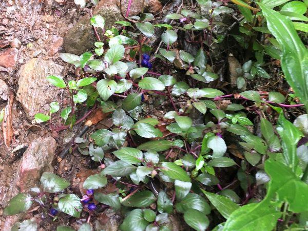 Cockscomb Berry Plant Real Life Recess