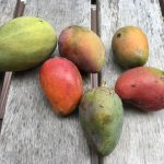 mangoes in belize