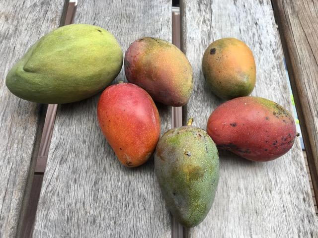 mangoes in belize