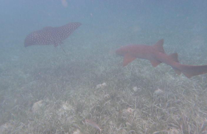 spotted eagle ray and nurse shark seen while snorkeling near Silk Caye Belize