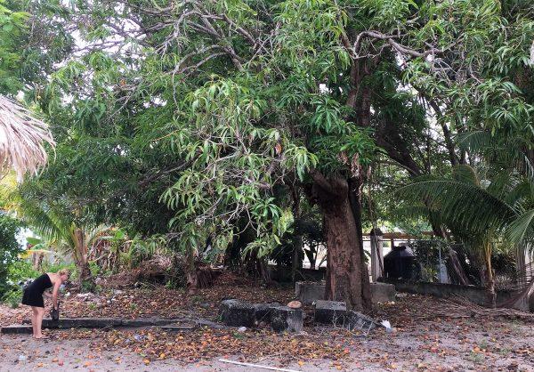 Mango tree by Yoli's Bar Real Life Recess