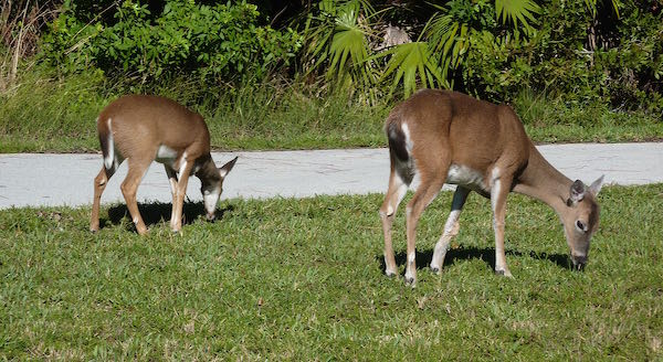 Key West Deer- Real Life Recess