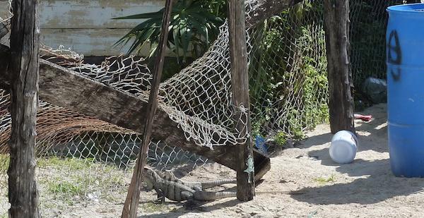 iguana in net