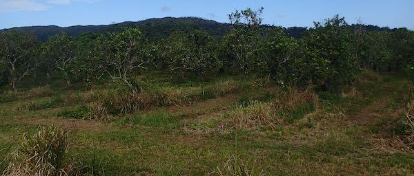 Orange Trees Hummingbird Highway - Real Life Recess