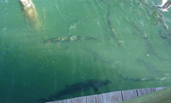 Tarpon feeding in Key West- Real Life Recess